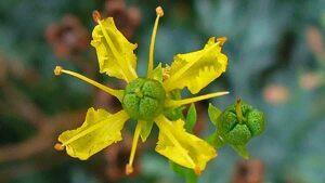 Propiedades esenciales de la planta conocida como ruda