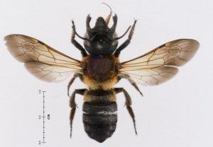 Imagen de un ejemplar de abeja gigante de la resina, ampliada con lentes especiales