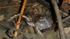 Una rana túngara macho con su saco vocal inchado