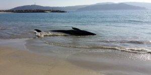 Una ballena roncual común varada en una playa de Galicia, en un caso anterior