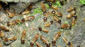 Ejemplares de termitas americanas, muy agresivas y peligrosas en las zonas públicas y privadas