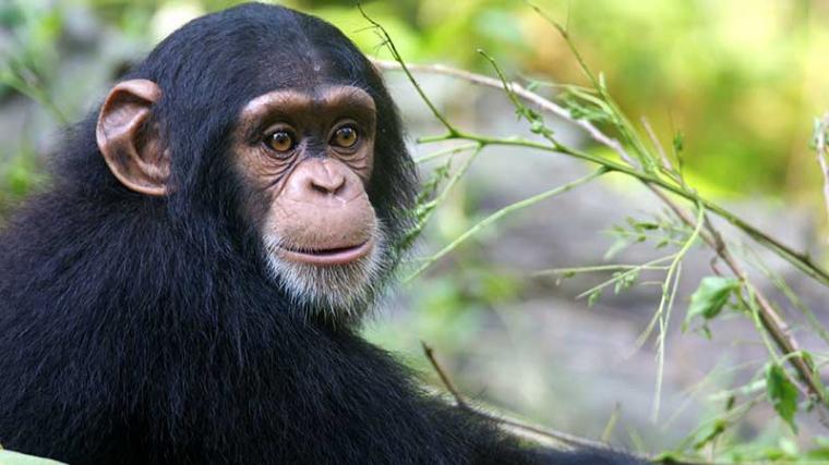 La antigua especie de chimpancé evolucionó gracias al cruce con los bonobos y se adaptó mejor al territorio