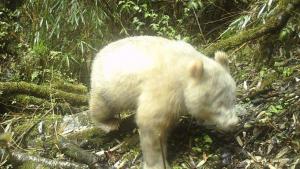 El cachorro de panda albino capturado por una cámara fija