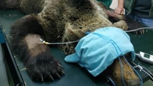 El oso pardo encontrado herido en un valle de montaña de León e ingresado en Cantabria ha muerto este sábado