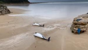 Los delfines han aparecido muertos en la orilla