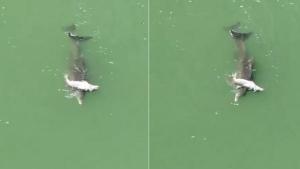 La madre delfín empujando a su cría muerta por la costa portuaria