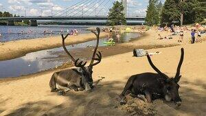 Los pobres renos intentan aliviar el calor bajo la sombra de un pino en una playa de Helsinki