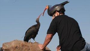 Pollet d'ibis eremita intereactuant amb un humà