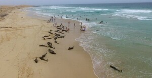Un centenar de delfines murieron atrapados en la playa del Altar, en la Isla de Boavista, en Cabo Verde