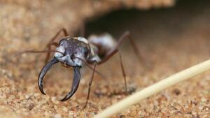 Imagen de un ejemplar de la hormiga Cataglyphis bombycina