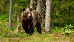 El oso pardo atemoriza la población de Rumanía