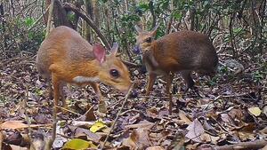 Imagen de algunos ejemplares del ciervo ratón de Vietnam relocalizado
