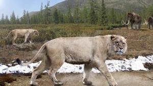 Imagen de un león de las cavernas, la especie que se representan en el colmillo de mamut
