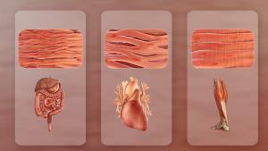 Los 3 tipos de músculos (o tejido muscular): estriado, liso y cardíaco