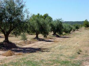 Les oliveres, el paisatge característic de les Garrigues