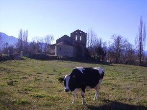 Una vaca pasturant pels prats de la Cerdanya.