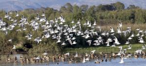 Estols d'aus aquàtiques al Parc Natural dels Aiguamolls de l'Empordà