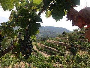 Gotims de raïm de les vinyes del Priorat