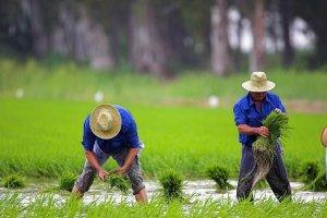 Plantada tradicional d'arròs al Montsià