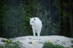 Un loup blanc regarde fixement