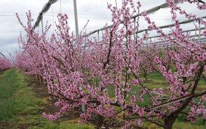 'Alcarràs florit', una ruta entre fruiters en flor
