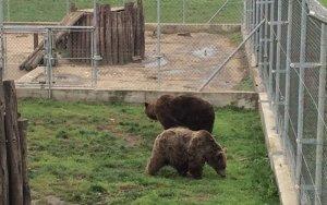 Els óssos d'Arties ja es troben al Santuari Medveotthon d'Hongria en un espai d'aclimatació