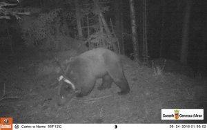 L'ós Goiat torna de nou a la Val d'Aran