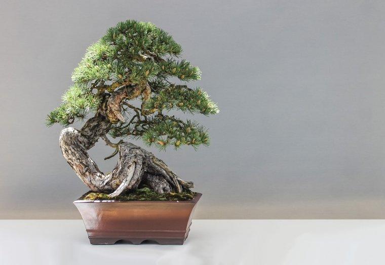 Imatge d'un bonsai