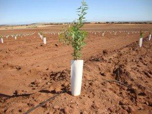 Imatge d'una nova plantació d'ametllers de Borges Agricultural & Industrial Nuts