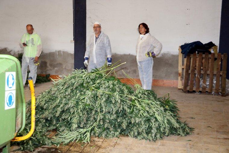 Agents supervisant l'esmicolament de la marihuana.