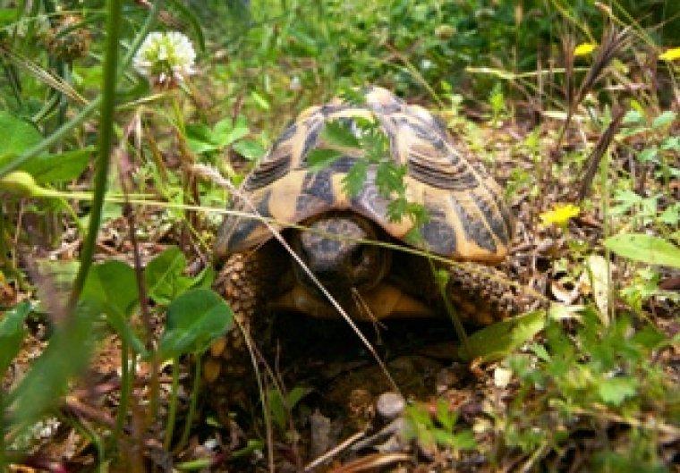 Imatge de la tortuga mediterrània