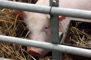 Imatge d'arxiu d'un porc