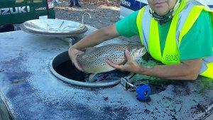 Imatge d'un dels peixos rescatats al pantà