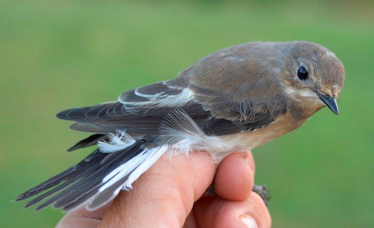 Un exemplar d'un ocell de l'espècie Mastegatatxes anellat a Rússia i recapturat a la Vall Fosca