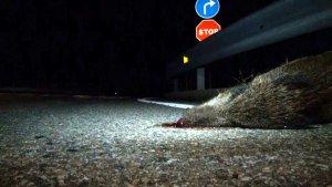Imatge en què es veu en primer terme el cap d'un senglar mort per un atropellament a la carretera C-14