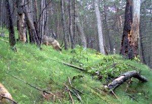 Imatge amb el llop captat al Solsonès a la zona del Port del Comte
