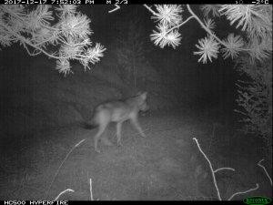 Imatge del llop captada amb les càmeres de fototrampeig al Port del Comte