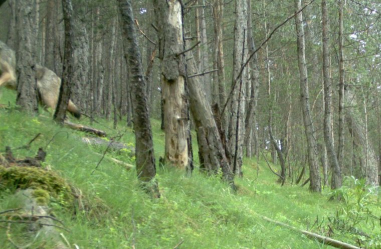 El llop captat per les càmeres de fototrampeig a la zona del Port del Comte