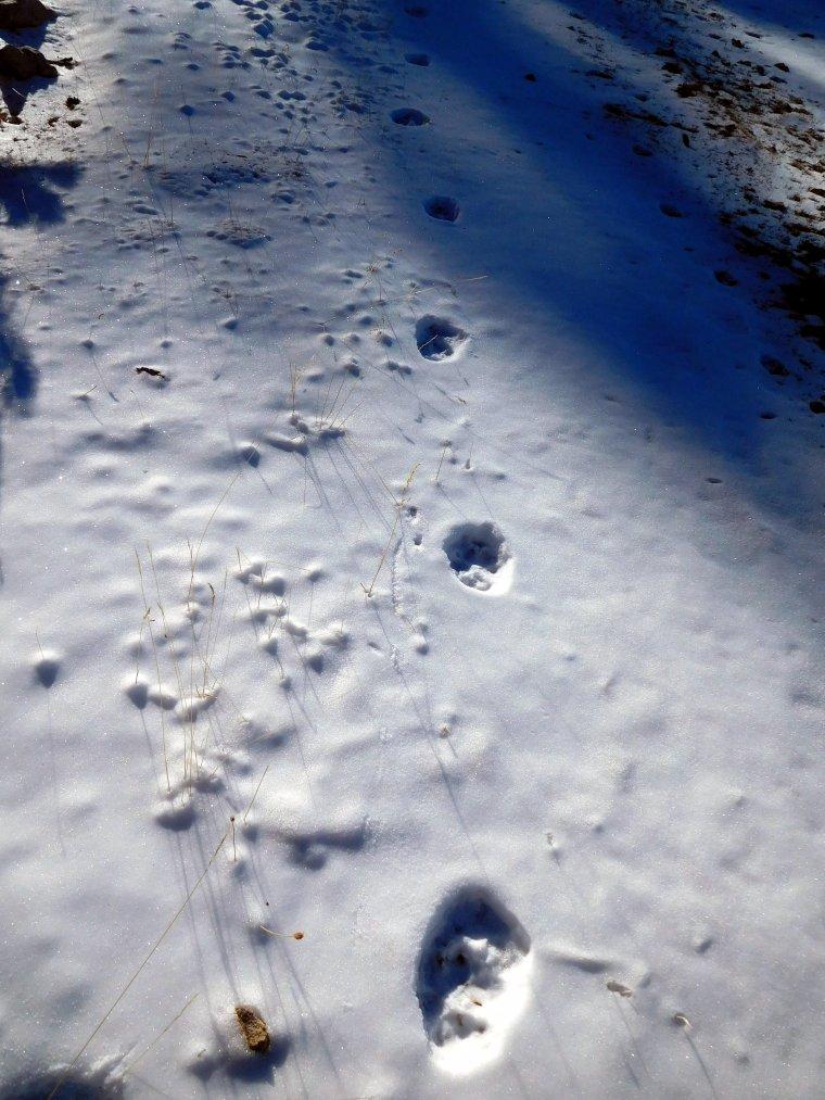 Un seguit de petjades del llop que s'ha detectat al Solsonès