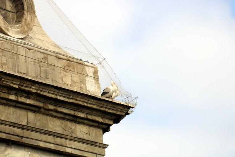 Cigonyes atrapades sota la xarxa d'un dels contraforts de la Catedral Nova de Lleida