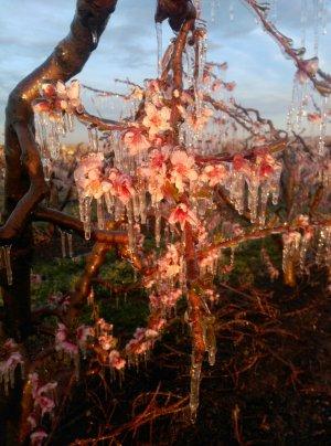 Pla curt on es pot veure flors d'un fruiter congelades pel reg per aspersió, en una finca de l'Horta de Lleida