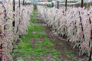 Pla general d'una finca de presseguers de Benavent de Segrià amb els arbres recoberts per una per una capa de gel per protegir les flors de les gelades