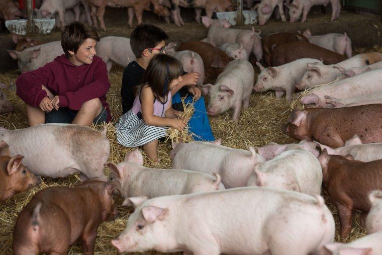 Els més petits gaudin d'una granja de porcs