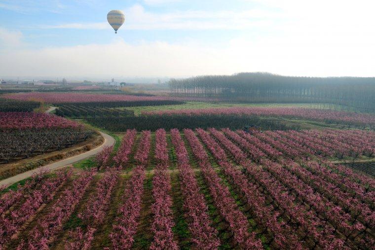 Pla general dels camps de presseguers florits a Aitona, amb un globus aerostàtic al fons