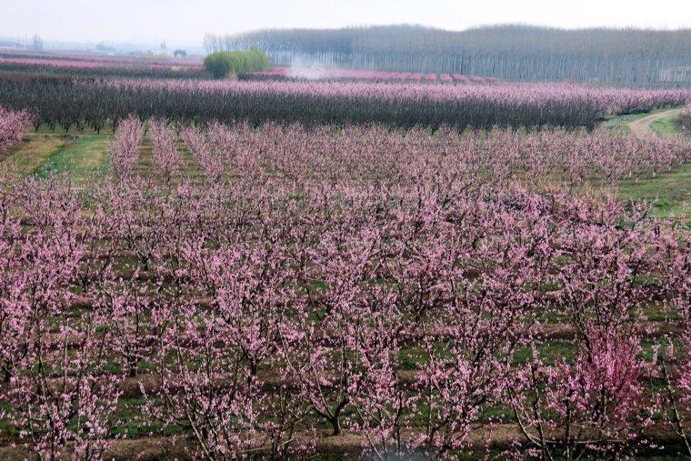 Presseguers i nectariners florits al municipi d'Aitona des de l'aire