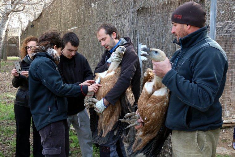 Tècnics del Centre de fauna salvatge de Vallcalent, a Lleida, capturant dos voltors per traslladar-los a Israel