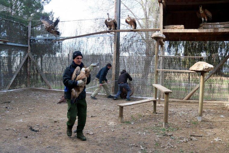 Treballadors del Centre de fauna de Vallcalent capturant voltors per traslladar-los a Israel