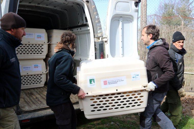 Treballadors del Centre de fauna de Vallcalent carregant les gàbies amb els voltors en una furgoneta per traslladar-los fins a l'aeroport del Prat