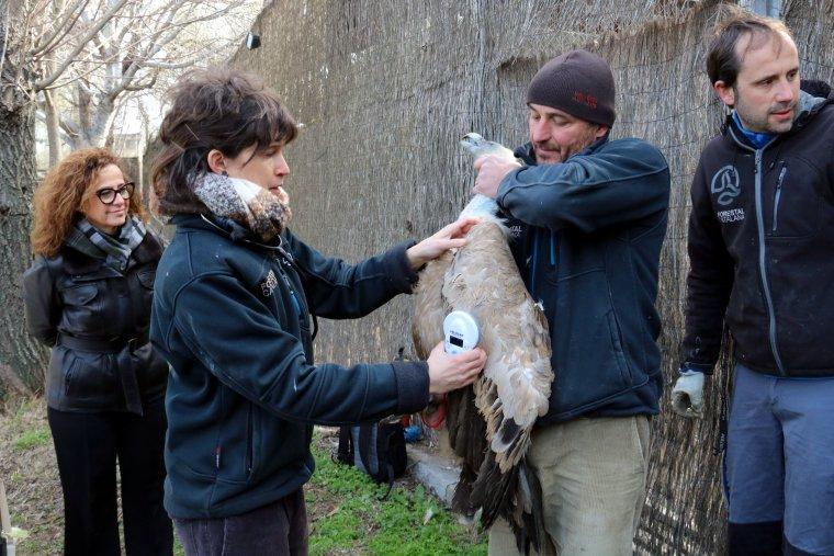 Un veterinària del Centre de fauna salvatge de Vallcalent inspecciona un voltor abans del seu trasllat a Israel