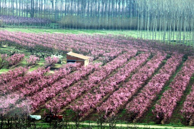Vista aèria dels camps de presseguers florits a Aitona, amb el seu característic color rosat